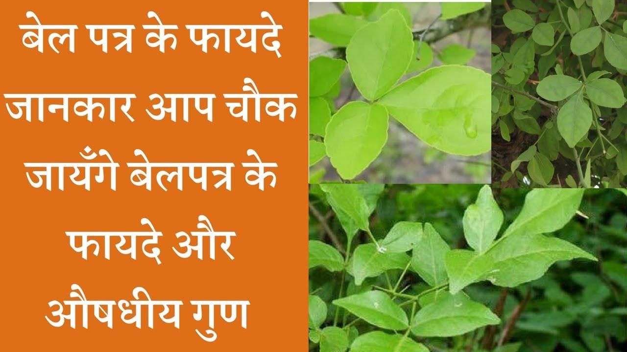 Wonder health Benefits  Bilva patra leaves  बेलपत्र के फायदे और औषधीय गुण
