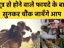 Amazing Health benefits of cow urine that will surprise you