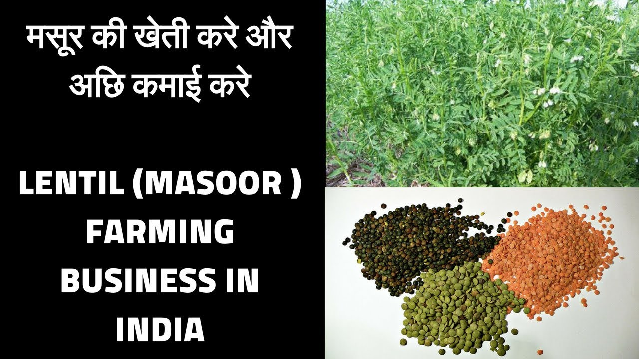 Lentil masoor  farming business Low investment and high profit