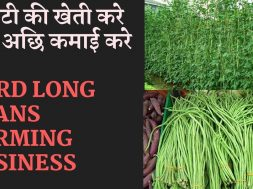 Yard  Long  Bean Farming  Business  | Beans Farming Information Detailed Guide