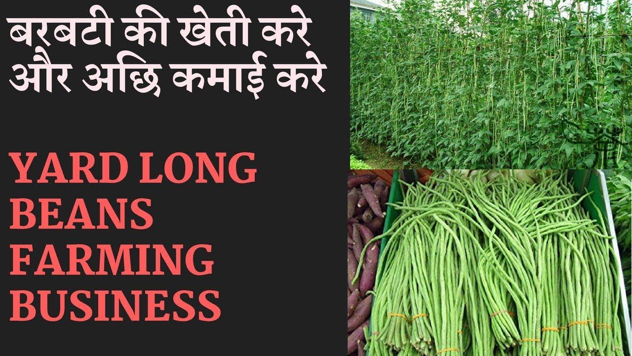 Yard  Long  Bean Farming  Business    Beans Farming Information Detailed Guide