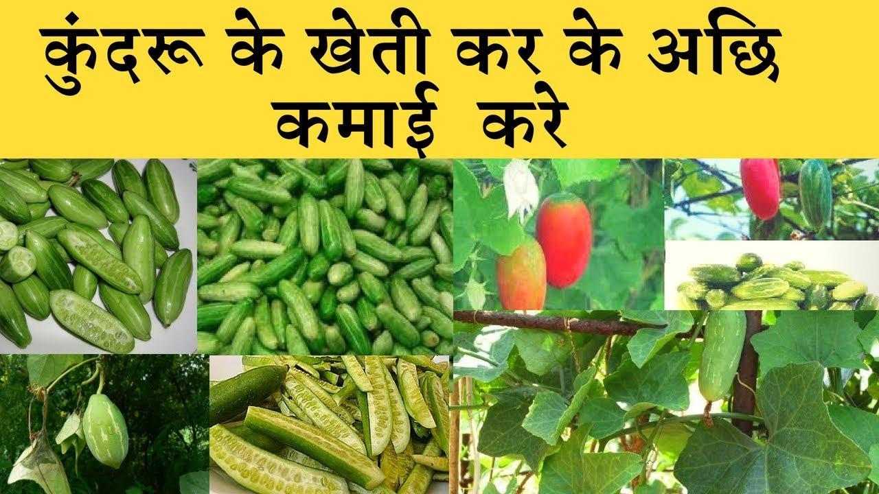 Kundru  (Ivy gourd)  farming business  कुंदरू की लाभ कारी खेती