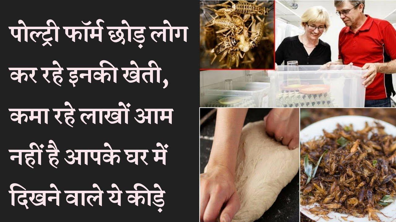 Cricket (Jhingur)  Farming Business पोल्ट्री फॉर्म छोड़ लोग कर रहे इनकी खेती, कमा रहे लाखों