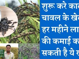 Start black rice farming business and earn good income काले चावल की खेती करा सकती है मोटी कमाई