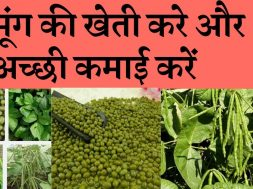 Start Vigna radiata (mung bean ) farming business and earn good income  मूंग की खेती कर मुनाफा कमाएं