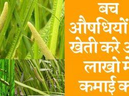 Sweet flag (Vach) farming business बच औषधियों की खेती करे और लाखो में कमाई करे