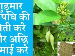 Cultivate gudmar medicinal and earn good money   Gymnema sylvestre medicinal plant farming business