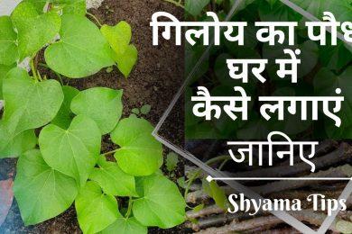 गिलोय का पौधा घर में कैसे लगाएं | How to Grow Giloy Plant in Water