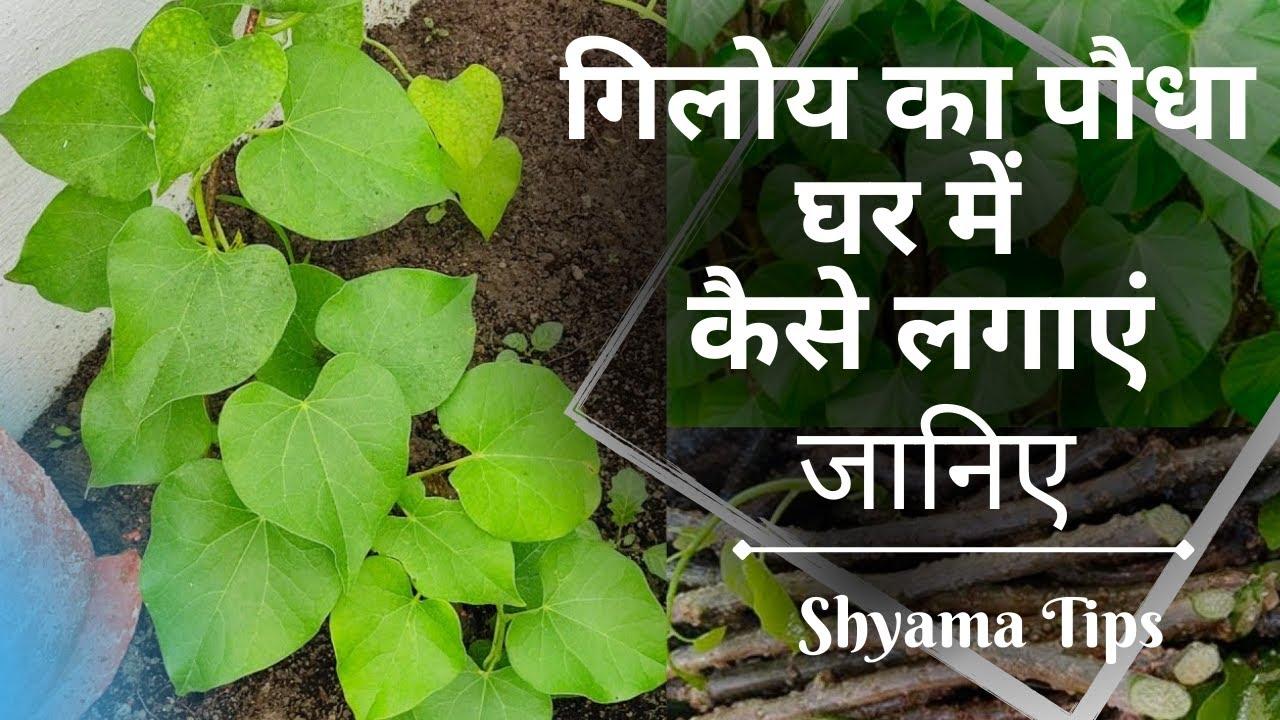गिलोय का पौधा घर में कैसे लगाएं   How to Grow Giloy Plant in Water